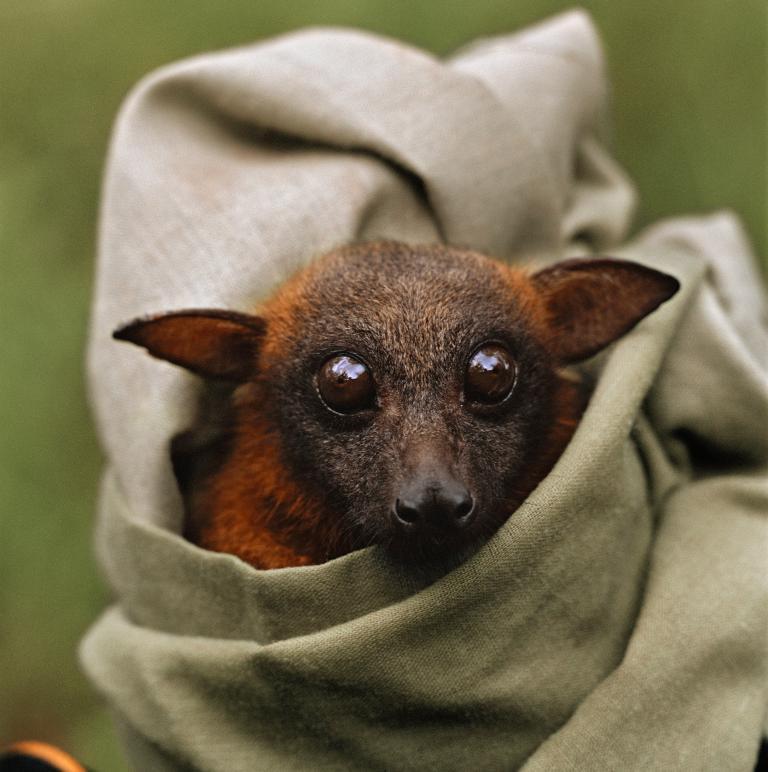 Хэллоуин еще некончился: лучшие фотографии летучих мышей отNatGeo - Изображение 14